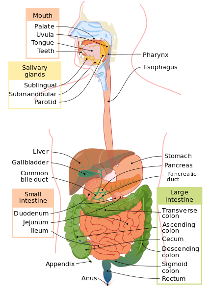5 tips for better digestive health - it all starts in the gut!