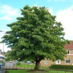 Common Trees of Britain